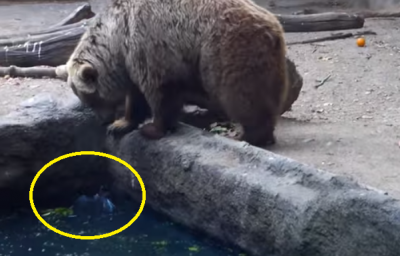 Watch Bear does the unimaginable thing to this crow!