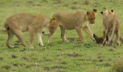 Ferocious Little MONGOOSE Fends of FOUR Lions All By Himself!