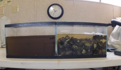 Watch Oysters Filtering Water. Amazing Capability!