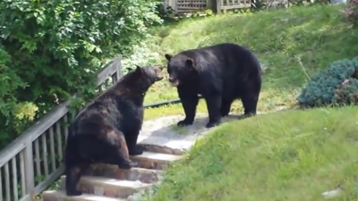 Bears Fight in New Jersey Residential Street!