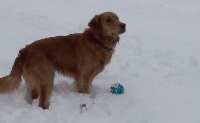 Dog is confused by a strange sound, not knowing it's coming from his own toy!