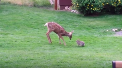 Watch this Deer and Bunny Playing together! Too cute!